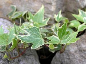 Efeu ein sagenhafter empork mmling forum naturheilkunde - Hanf zimmerpflanze ...